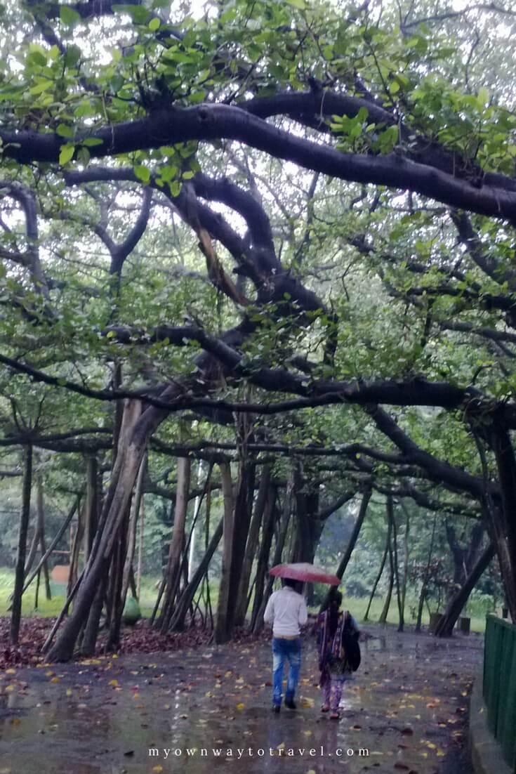 Great Banyan Tree at Acharya Jagadish Chandra Bose Indian Botanic Garden in Kolkata