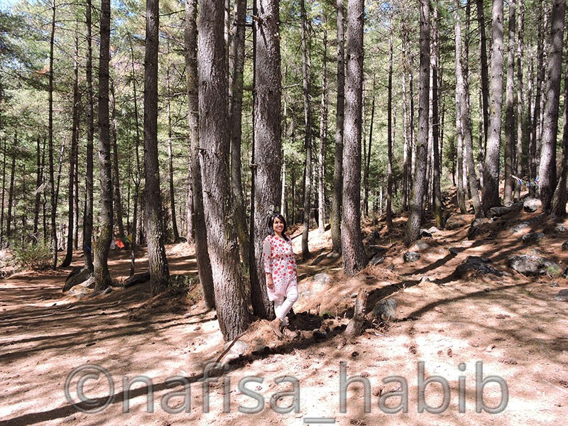 Pine Forest at Takshang