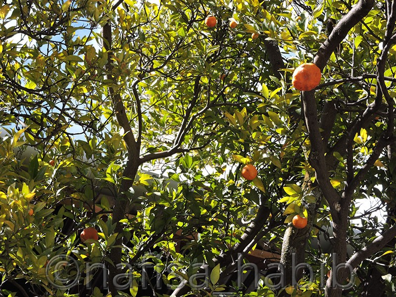 orange trees at kyichu lhakhang - Five Must Visited Place in Paro, Bhutan