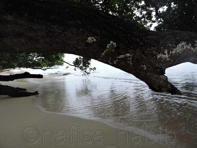 Big trunk of Mahua tree at Vijaynagar beach - 3 Top Beaches in Havelock Island
