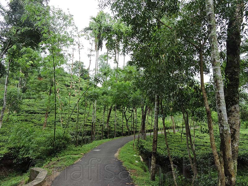 Malinicherra Tea Garden