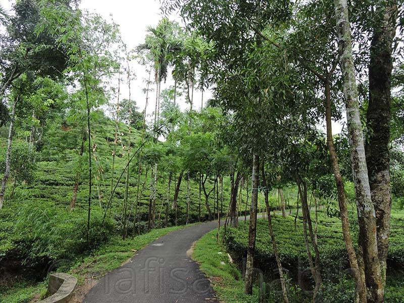 Evergreen Malinicherra Tea Garden - 10 Photos To Inspire You To Visit Sylhet, Bangladesh