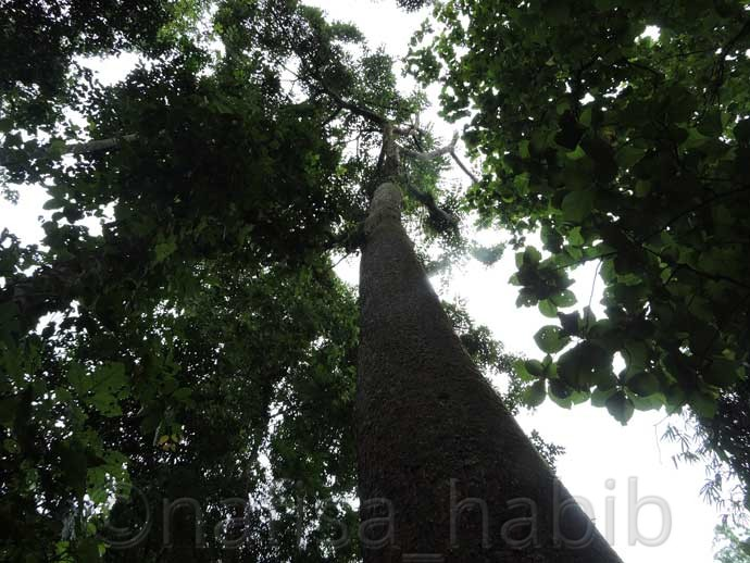 African Teak Oak at Lawachara Forest - Three Hours Adventure at Lawachara Rain Forest in Sylhet, Bangladesh