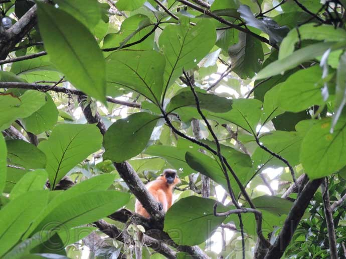 Capped Langur at Lawachara Forest