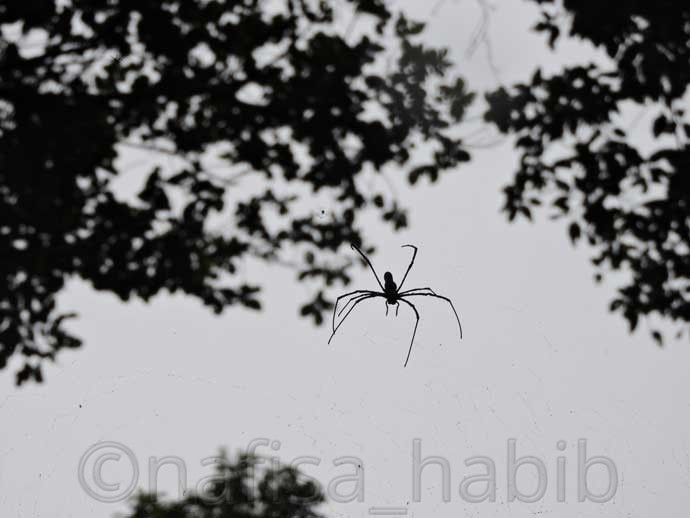 Giant Wood Spider at Lawachara Rain Forest