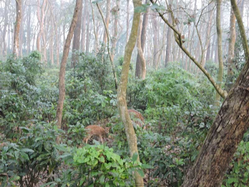 Chital Deer at Chitwan National Park - Jungle Safari at Chitwan National Park in Nepal (How To Explore Chitwan)