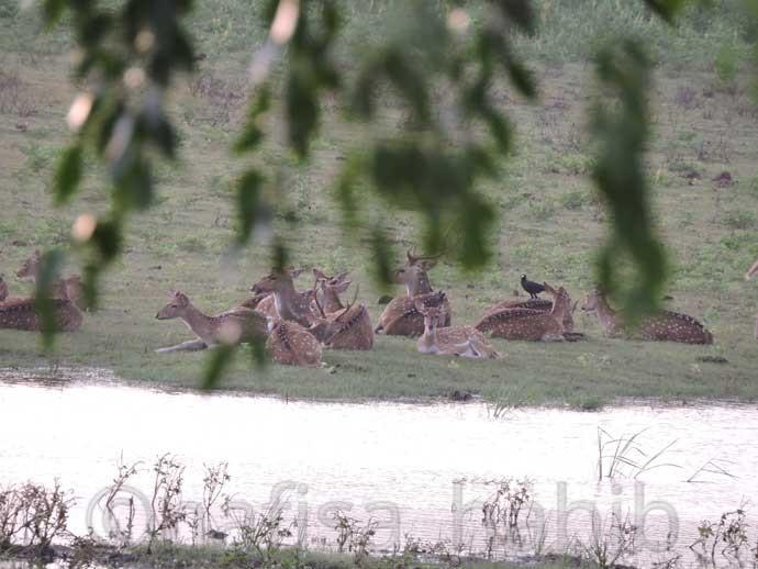 A herd of deers at Yala National Park - Three Hours Jeep Safari Tour at Yala National Park in Sri Lanka