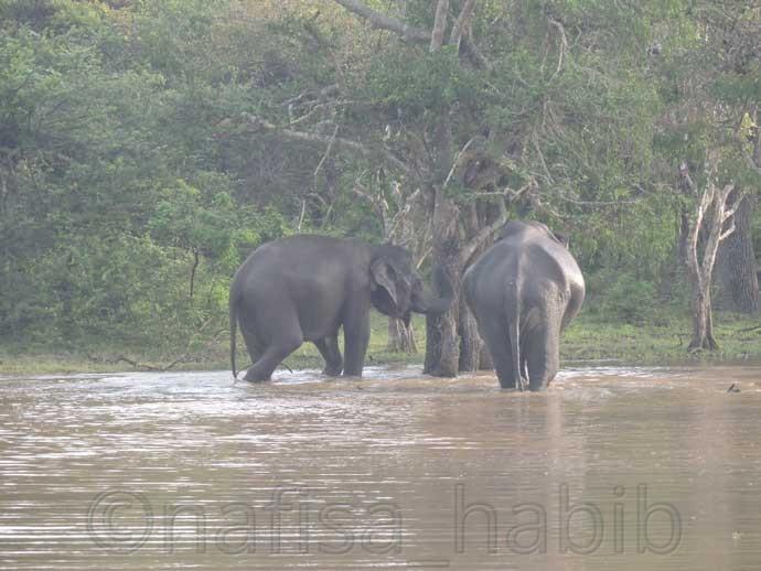 Asian Elephants at Yala National Park - Three Hours Jeep Safari Tour at Yala National Park in Sri Lanka