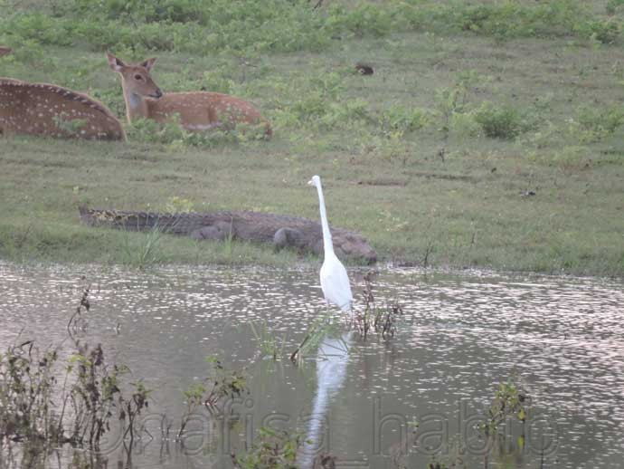 Deers, Crocodile, and Great Egret