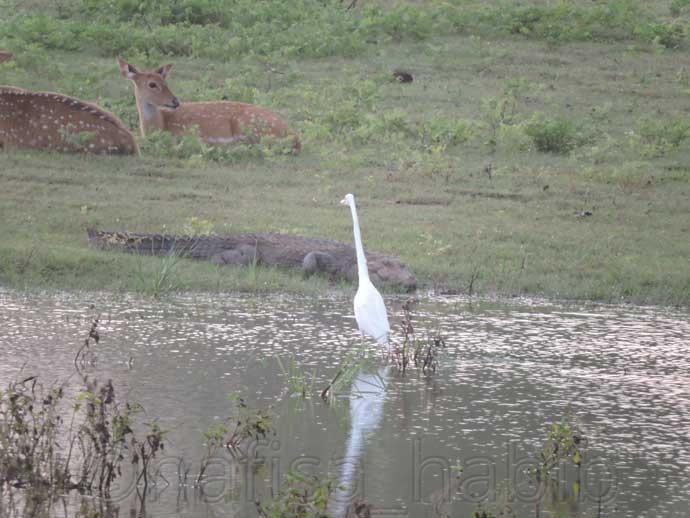 Deers, Crocodile, and Great Egret