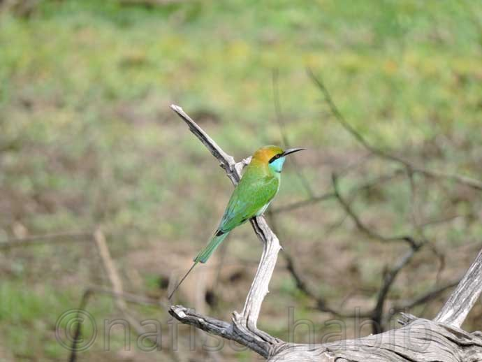 Green Bee-eater at Yala National Park