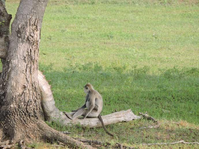 Monkey at Yala National Park - Three Hours Jeep Safari Tour at Yala National Park in Sri Lanka