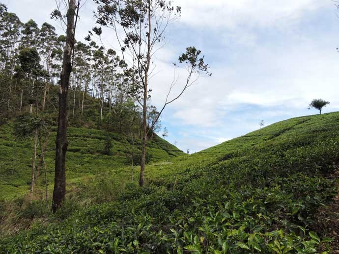 Tea Estates at Liptons Seat - 6 Top Travel Destinations In Sri Lanka To Explore