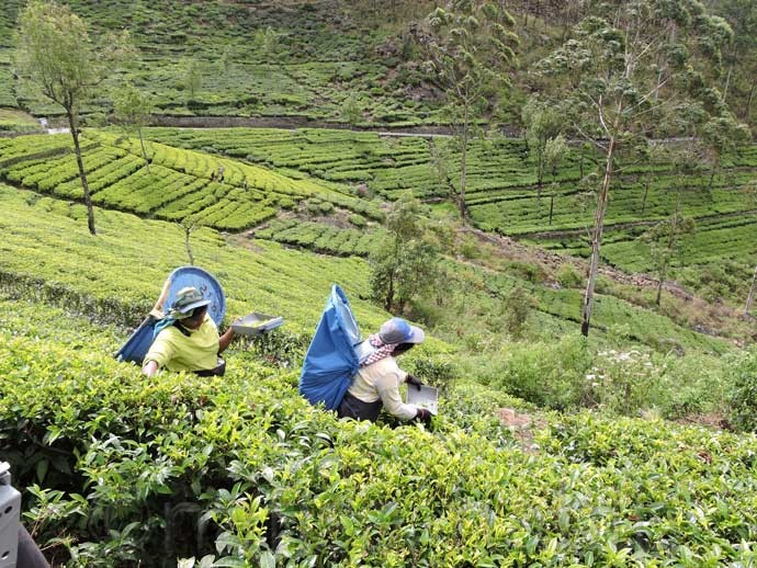 Tea Pickers at Dambatenne Tea Factory - 6 Top Travel Destinations In Sri Lanka To Explore