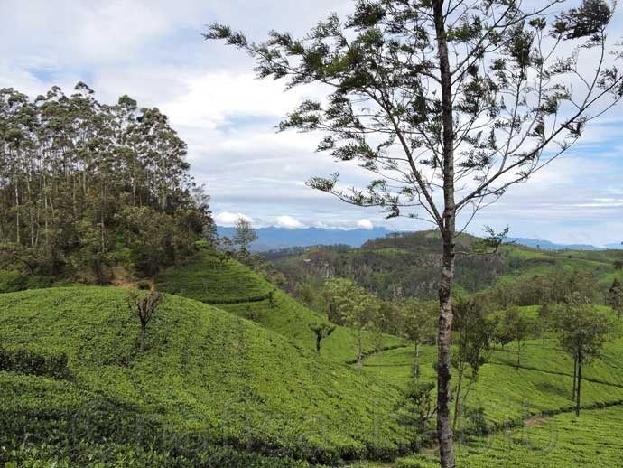 Tea Plantations at Liptons Seat - 6 Top Travel Destinations In Sri Lanka To Explore