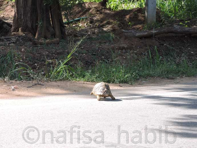 Tortoise on the road of Tissamaharama