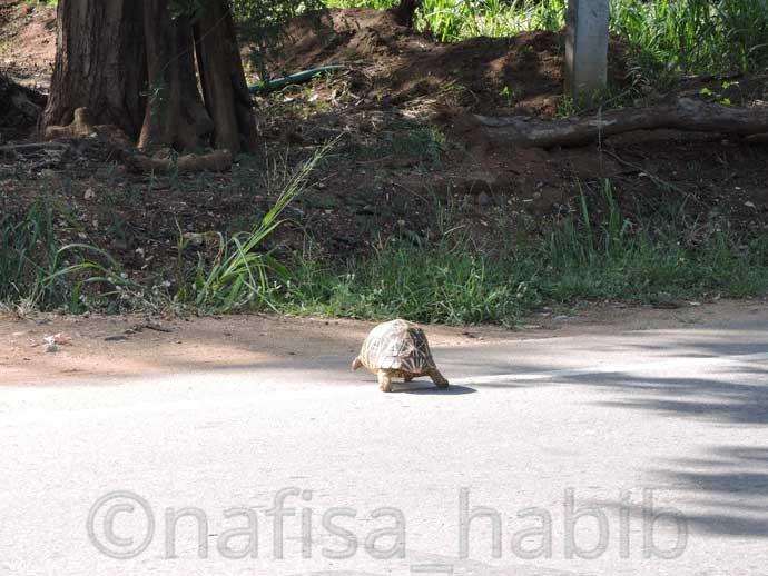 Tortoise on the road of Tissamaharama