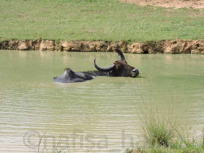 Water Buffalo at Yala National Park - Three Hours Jeep Safari Tour at Yala National Park in Sri Lanka