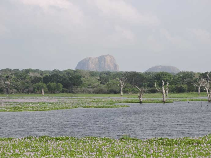 Water Hyacinth flowers and Elephant Rock at Yala National Park