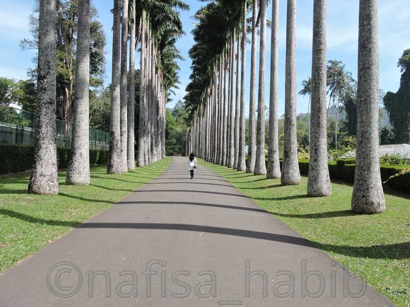 Palm Avenue of Royal Botanic Gardens in Kandy, Sri Lanka