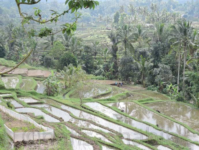 Subak Irrigation at Jatiluwih Rice Terrace
