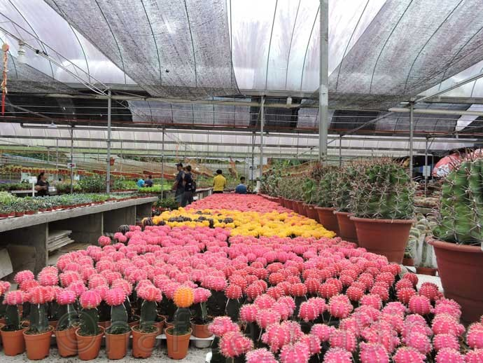 Colorful Cactuses in the Cameron Highlands