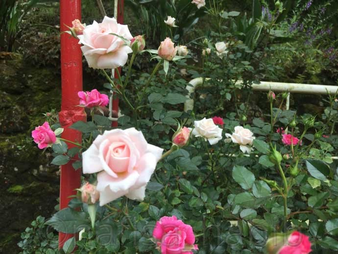 Rose Collections From Rose Valley Cameron Highlands