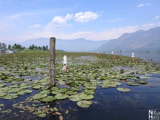 Dal Lake Water Lily Pads beside Kabutar Khana