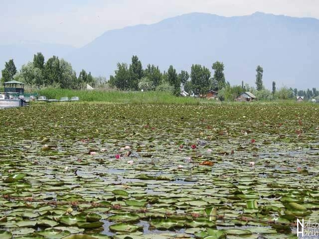 Dal Lake floating gardens of water lily