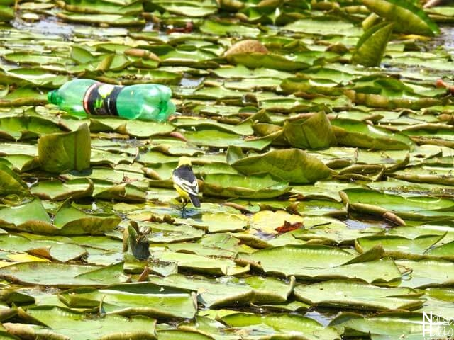 Plastic bottle on Dal Lake Water Lily pads