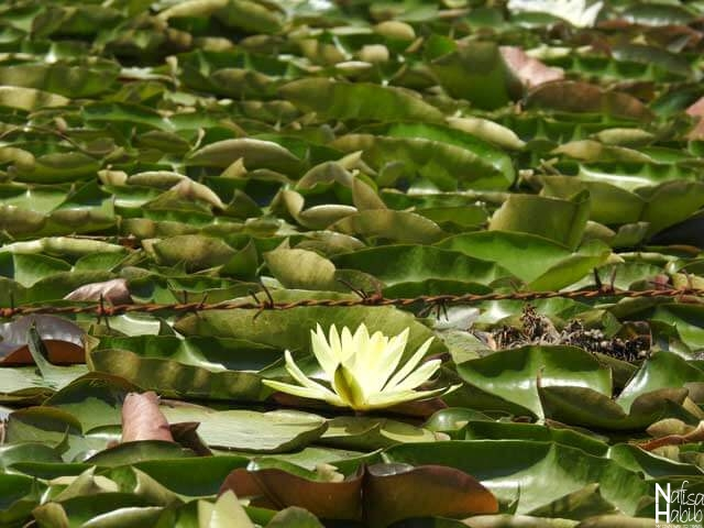Yellow colored Water Lily of Dal Lake Kabutar Khana