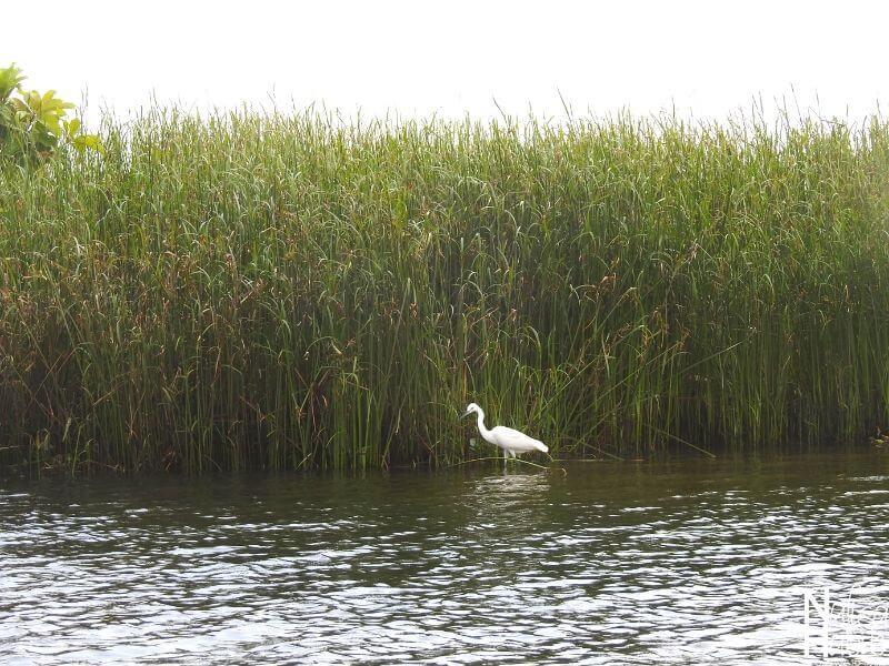 Bird watching in the Poovar Island - Egret Bird