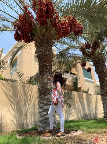 Date trees in Dubai Umm Suqeim Second Area