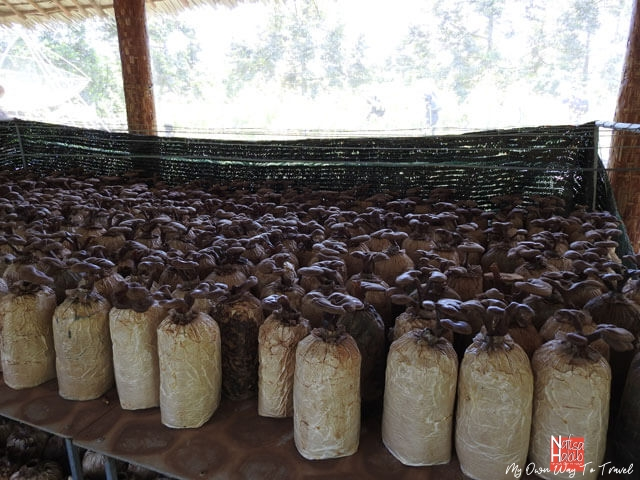 arming mushrooms in Mekong Delta mushroom farm